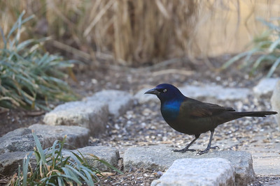 A grackle day