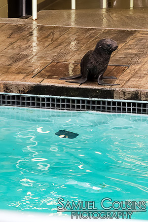 Kitovi, the 6 week old northern fur seal pup, being introduced to the main pool for the first time. At the New England Aquarium.