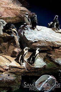 Feeding time for the African penguins at the New England Aquarium.