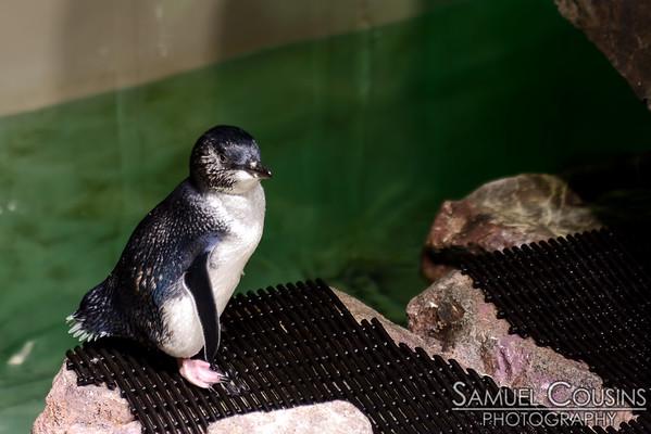 Penguin at the New England Aquarium.