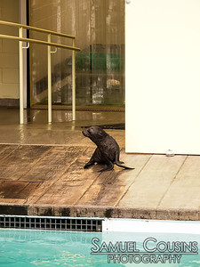 Kitovi, the fur seal pup born 6 weeks ago at the New England Aquarium, is introduced to the main exhibit area.