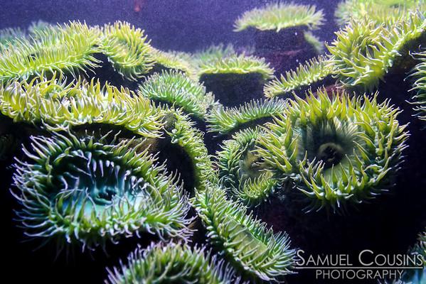 Sea anemones at the New England Aquarium.