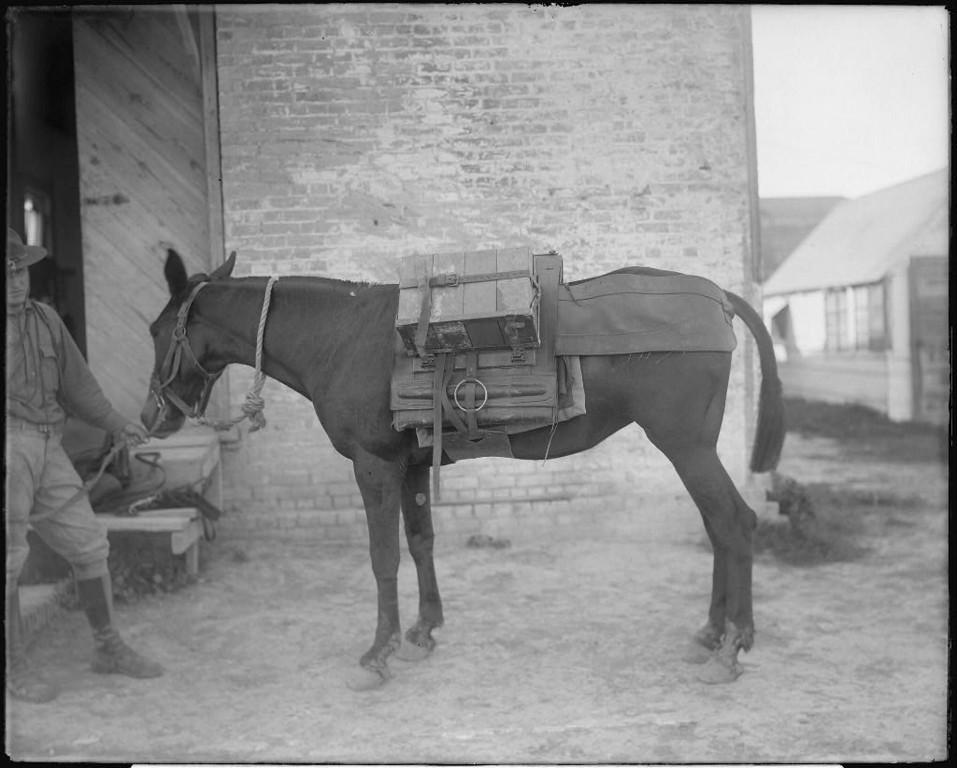 Army pack mule, June 1919