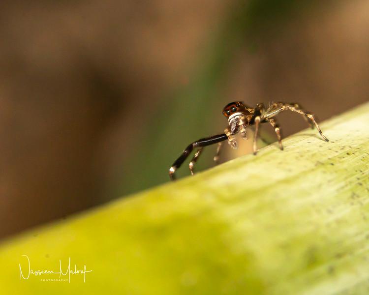 JUMPING SPIDER 2 (DD) 1119-37.jpg
