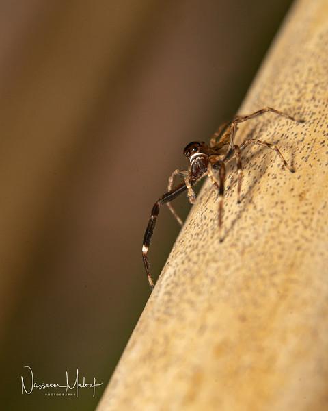 JUMPING SPIDER 2 (DD) 1119-72-2.jpg