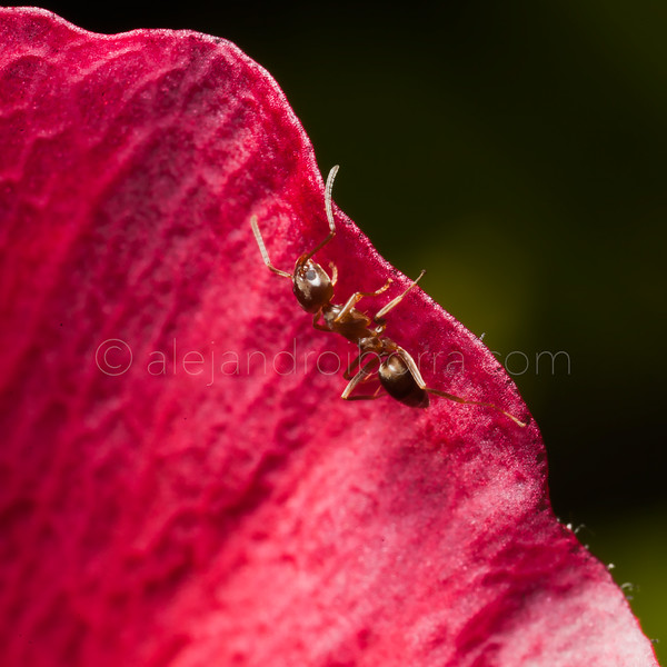 ANT IN FLOWER