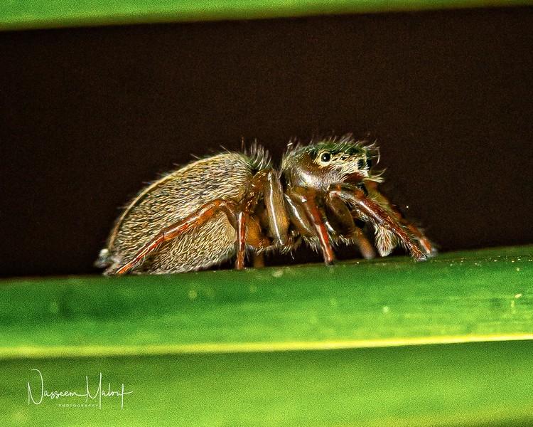 Macro Jumping Spider (DD)1119-9-Edit.jpg