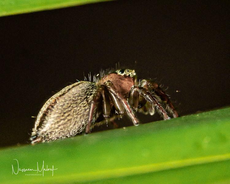 Macro Jumping Spider (DD)1119-13.jpg