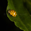 LADYBUG IN YELLOW DRESS