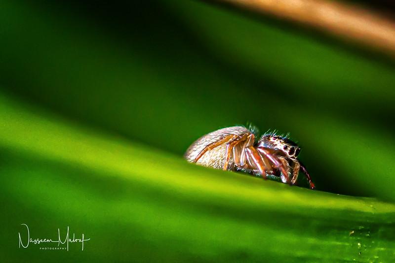 Macro Jumping Spider (DD)1119-248-Edit.jpg