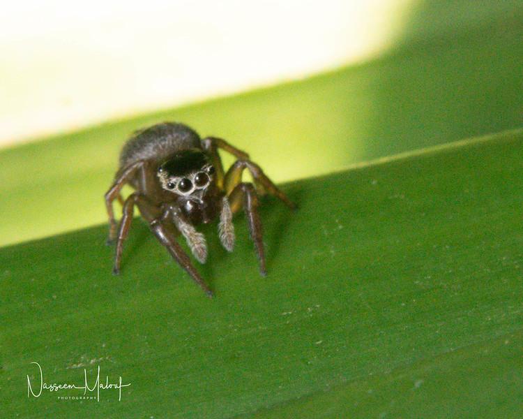 Macro Jumping Spider (DD)1119-84-Enhanced.jpg