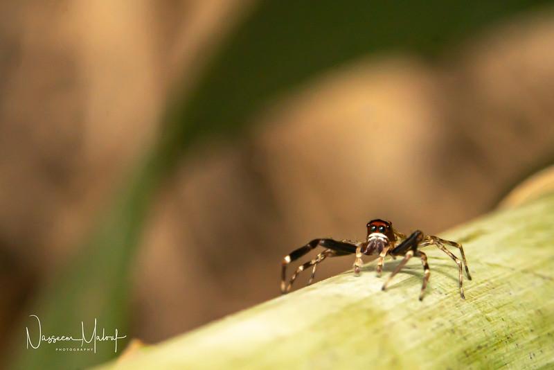 JUMPING SPIDER 2 (DD) 1119-36.jpg