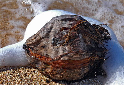 Coconut tossed around in the ocean waves onto the beach    North Shore of O'ahu, Hawai'i