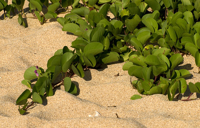 Beach Morning Glory creeps along the sand - until the winter waves comes  090613