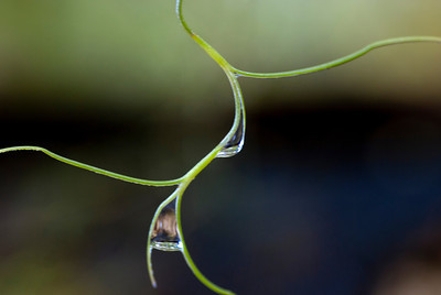 Spanish Moss, Pele's Hair with droplets