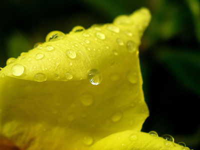 Yellow Apocynaceae, with morning dew