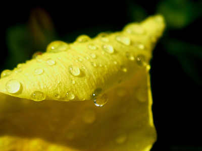 Yellow Apocynaceae with dewdrops