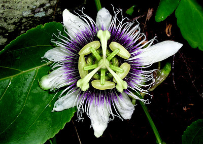 Purple passion flower  The purple passion flower is a fast growing vine that can reach up to 20 feet or more. Both the Lilikoi fruits and flowers are edible on some varieties and many food items are made from the plant.
