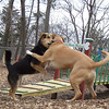 MONTY (from Montserrat),  MADDIE (indiana stockdog) PLAYMATES