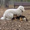 MADDIE (indiana stockdog), DEEGAN (labradoodle) PLAYMATES 2