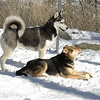 Simon (husky), Maddie 3(feb5)