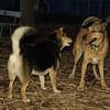 Buddy (shepherd), Maddie_001