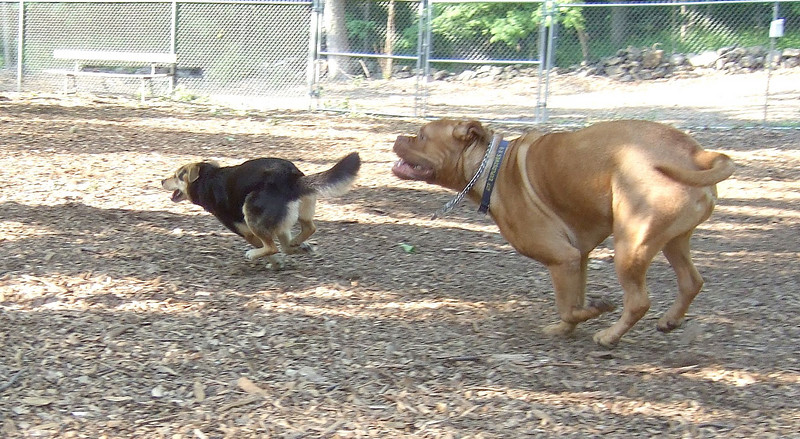 ROCKY (french mastiff) MADDIE (indiana stockdog) PLAYMATES chase