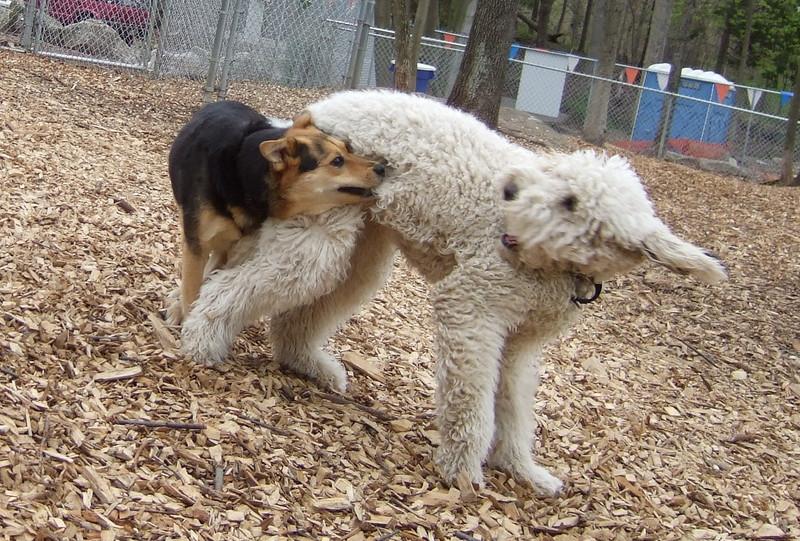 MADDIE (indiana stockdog), DEEGAN (labradoodle) PLAYMATES