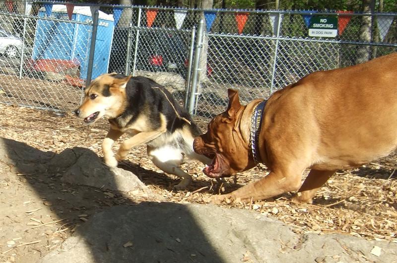 MADDIE (indiana stockdog), ROCKY (french mastiff) PLAYMATES
