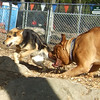MADDIE (indiana stockdog), ROCKY (french mastiff) PLAYMATES