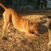 ROCKY (french mastiff), MADDIE (indiana stockdog) PLAYMATES