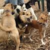 CHLOE (basenji), Maddie  (stockdog) 3
