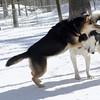 Simon (husky), Maddie(feb5)