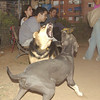Maddie, Sade, 001, sept19, fangs, mommy, puppy, ayora, pitbull