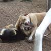 LUCY (tan, pitbull) & Maddie FB JUNE