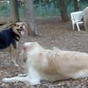 PUMPKIN, Maddie, Rocky (Eng. mastiff)
