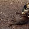 CHIEF (chocolate lab pup) & Maddie 16