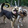 CALI (perrier mix),  MADDIE (indiana stockdog)