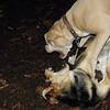 LUCY (pitbull) & MADDIE.