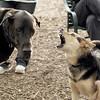 Harley ( Dane), Maddie (stockdog) 3