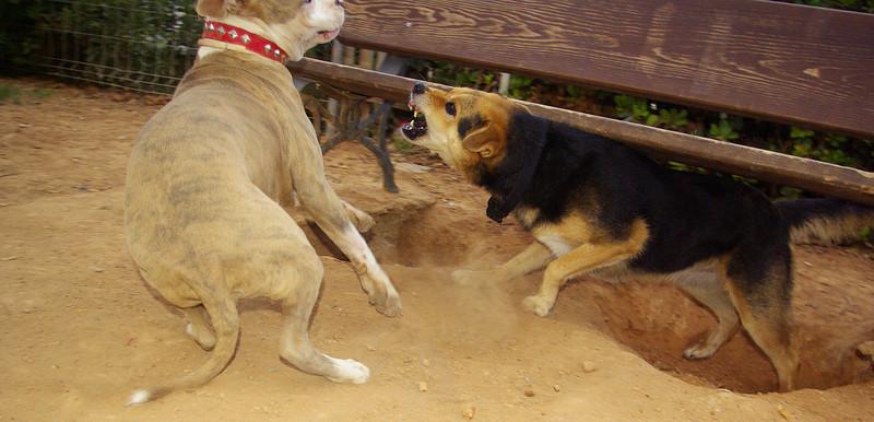 tiger, maddie, queen, mommy, puppy, ayora, pitbull