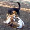 Molly (beagle pup), Maddie (indiana stockdog)