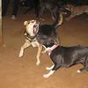 maddie, sade, fangs, teeth, mommy, puppy, pitbull, ayora