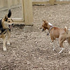 CHLOE (basenji), Maddie (indianna stockdog)