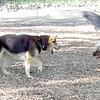 MISTER BEAR, MADDIE (indiana stockdog) HARLEY (great dane) FIERCE