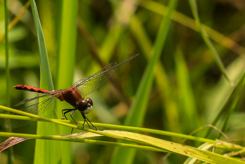 Male red-veined darter (dragonfly)