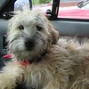 another wheaton terrier