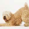 a wheaton terrier