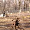 (choc lab) frisbee 3 Scout