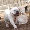 Spot (bulldog)